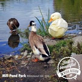 York Region ontario instagram photo of ducks at mill pond park in richmond hill